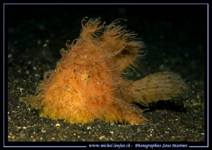 Hairy Frog Fish on the sand of Lembeh Strait.... by Michel Lonfat 